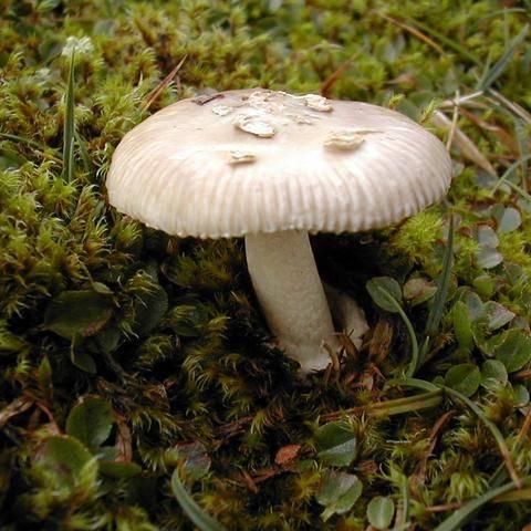 Поплавок (гриб)