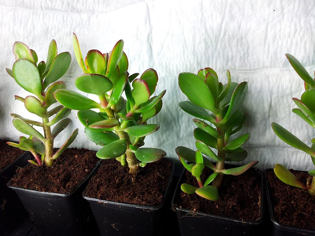 Уход за денежным деревом в домашних условиях: пересадка и размножение толстянки