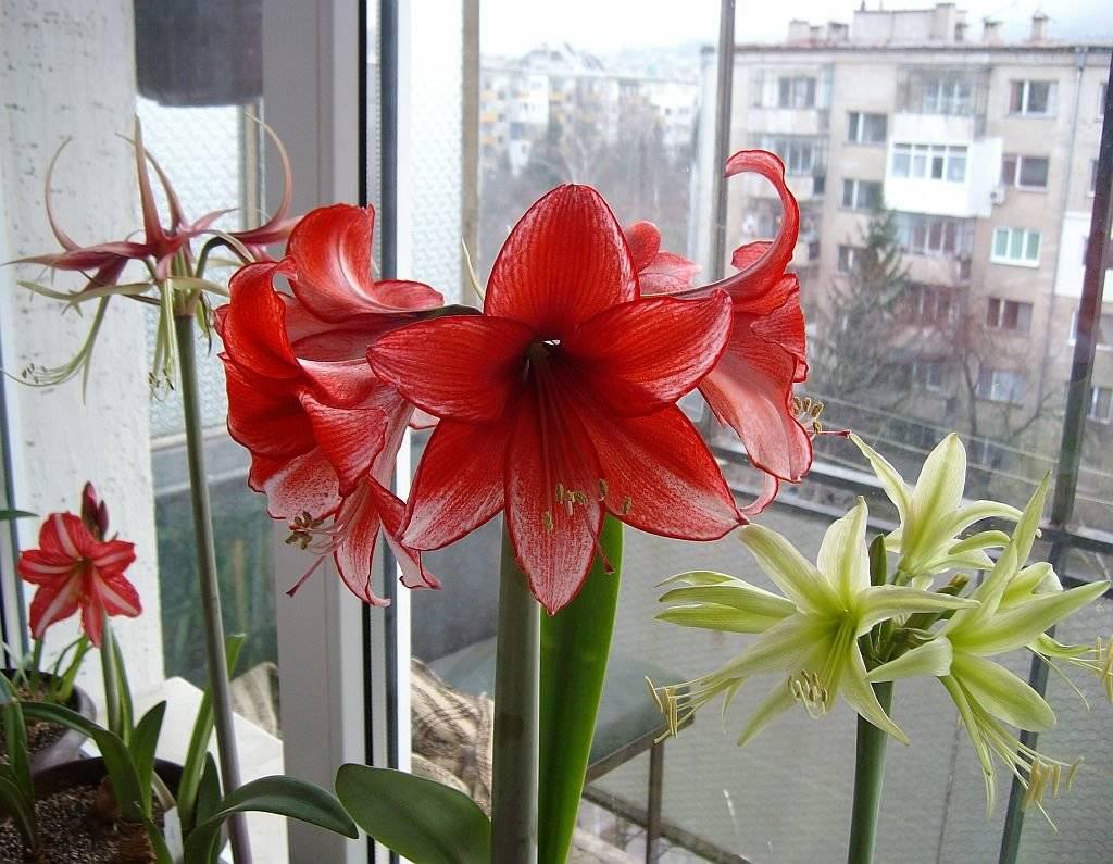 оценить комнатные лилии виды фото фото