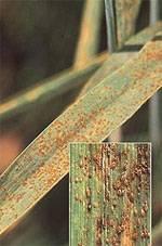 Бурая ржавчина пшеницы – гриб-вредитель