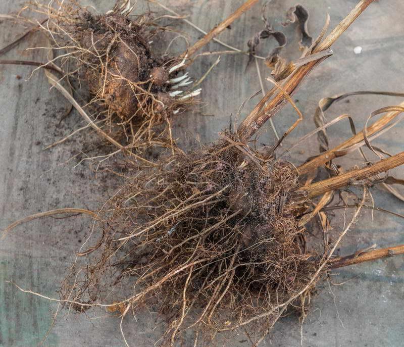 Колосковый лиатрис: посадка и уход в открытом грунте