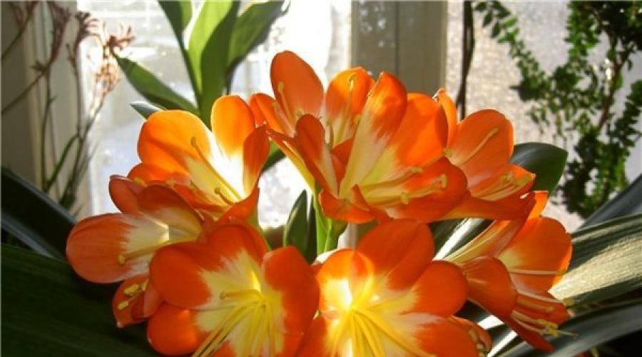 Комнатный цветок кливия: уход в домашних условиях, фото, размножение и цветение
