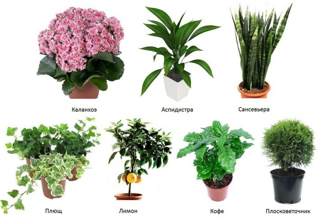 Картинка домашние цветы и их названия