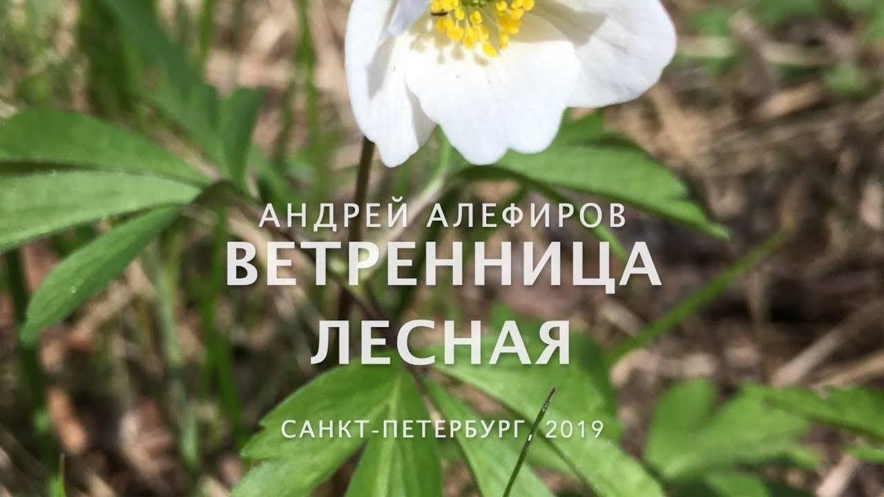 Anemone sylvestris l. описание таксона