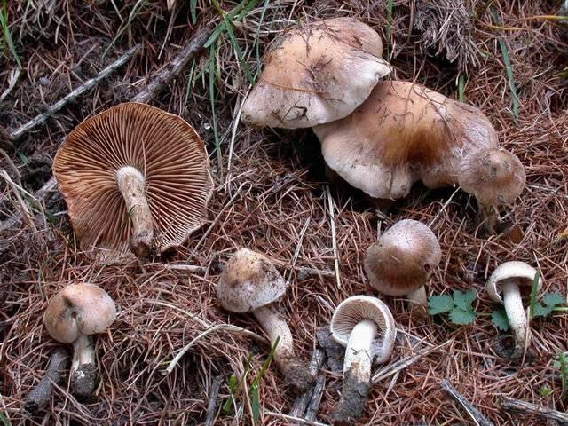 Что нужно знать про хреновый гриб?