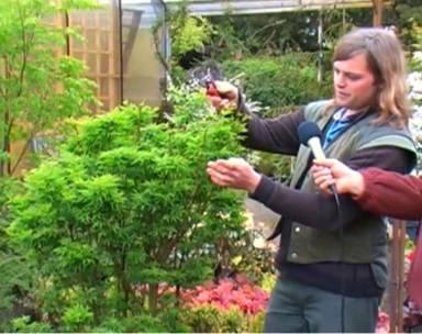 Синий клен (бонсай) — полное описание видов от а до я. инструкция, отзывы, особенности, разновидности, рекомендации садовника