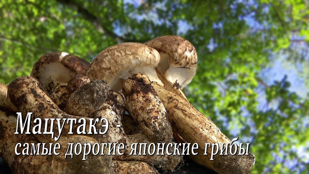 50 фото грибов «мацутакэ»,  названия, описания, как отличить