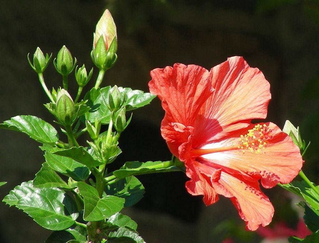 Картинки цветка гибискуса