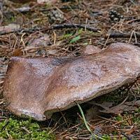 Ежовик белоножковый