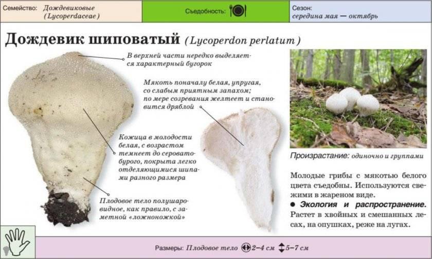 красивые фото, гриб дождевик фото и описание как готовить себе отличный интерьер