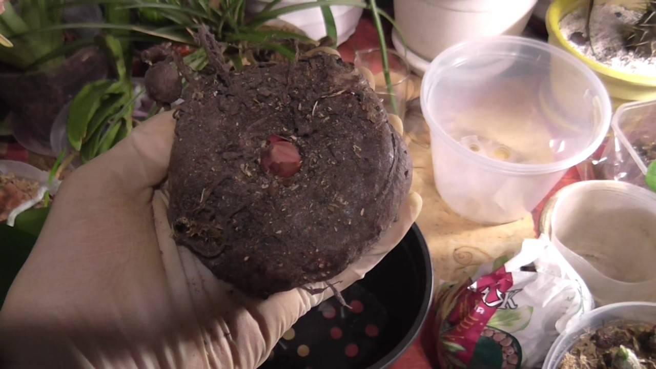 Аморфофаллус: характеристики и особенности выращивания