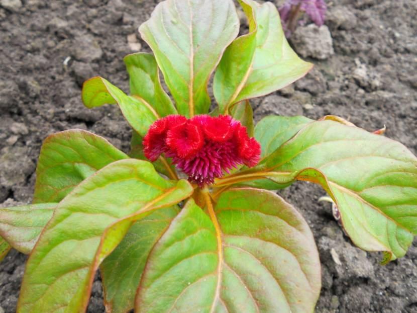 Целозия: описание и выращивание цветка из семян