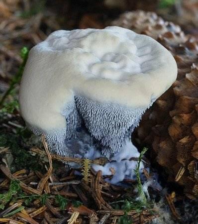 Что представляет собой гриб гиднеллум пека?