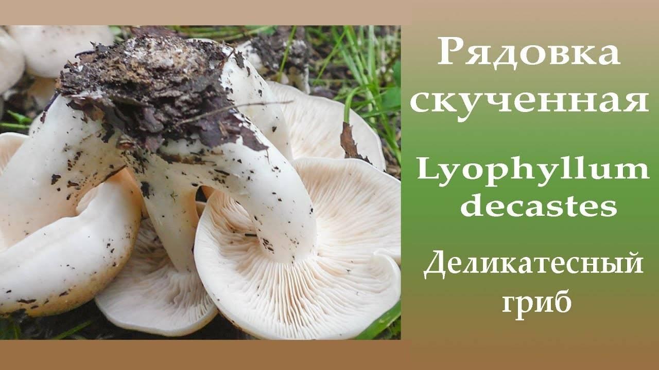 Лиофиллум дымчато-серый: где растет, как выглядит, можно ли есть, вкусовые качества