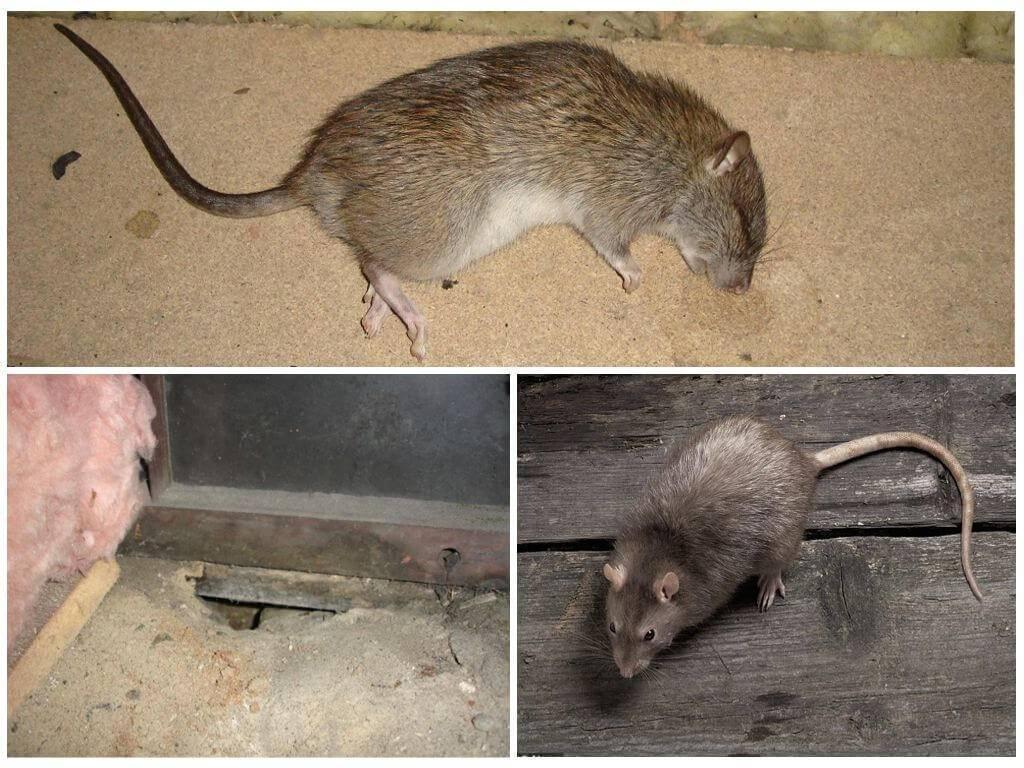 Как избавиться от запаха мышей в доме и квартире
