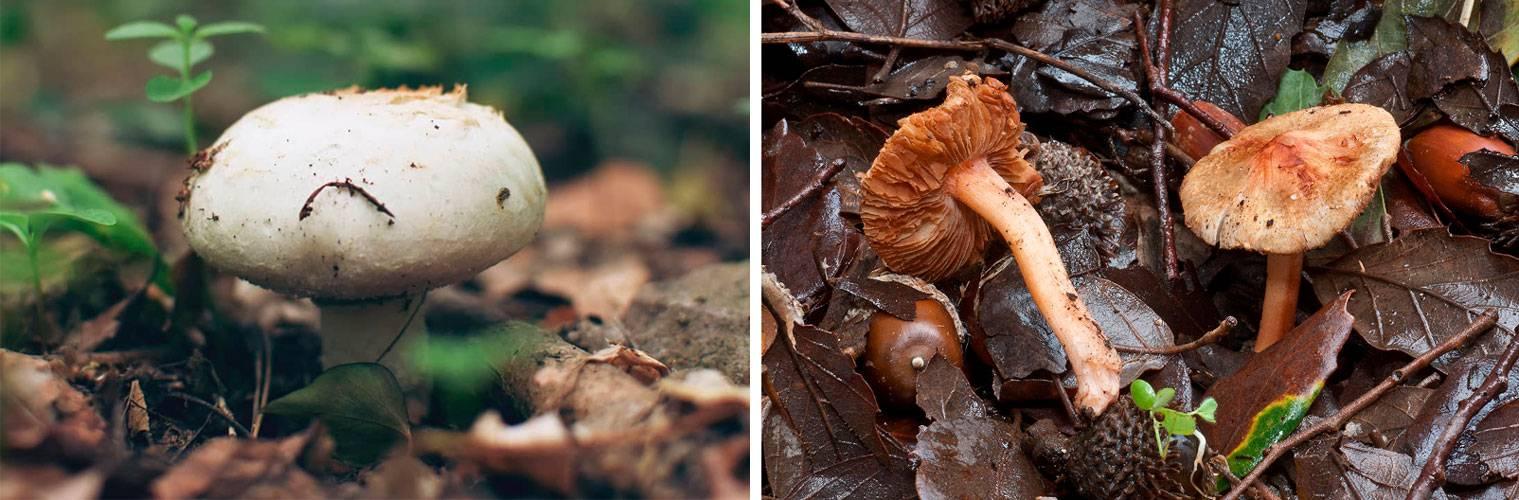 Волоконница разорванная: в чем опасность этого небольшого гриба?