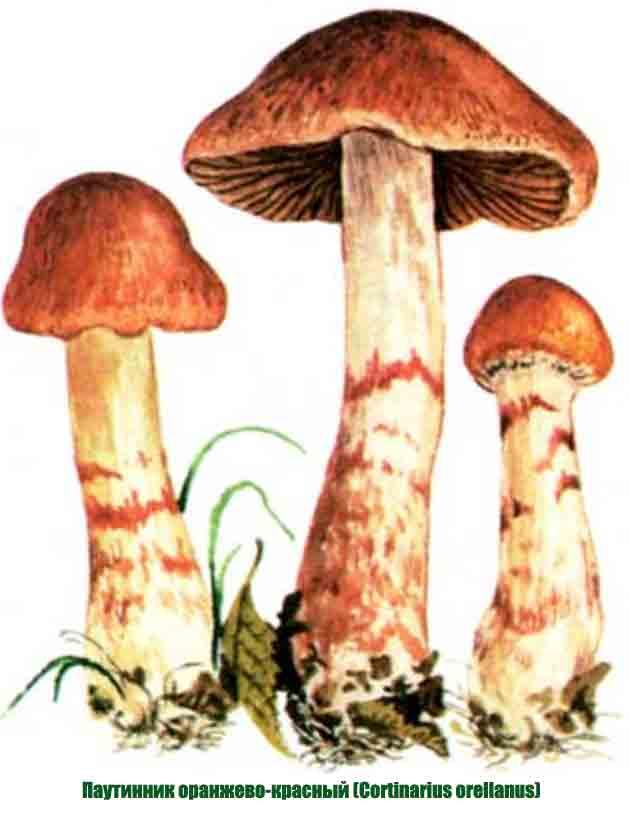 Паутинник фиолетовый – красивый краснокнижный гриб