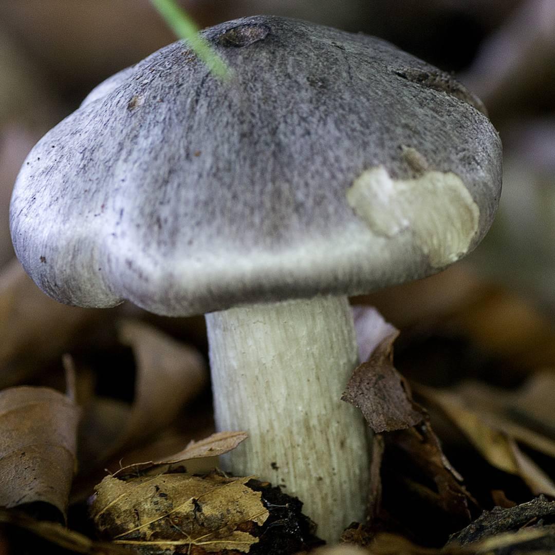 Опасный ядовитый гриб — рядовка мышиная или заостренная