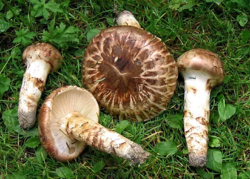 Мацутакэ грибы