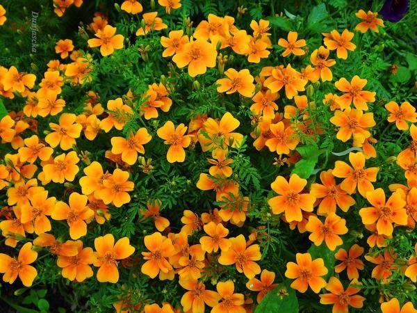 Цветок касатик (ирис)