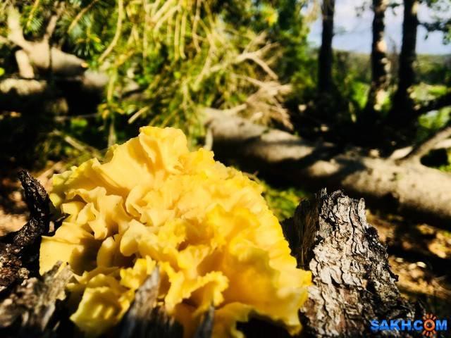 Спарассис курчавый или грибная капуста