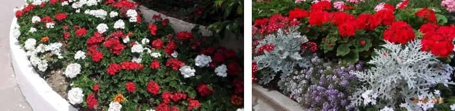 Цветок Герань