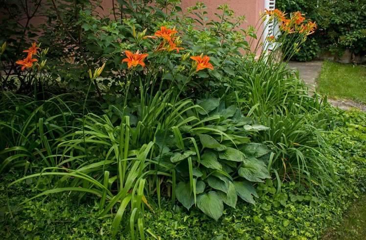 Цветы Хосты и лилейники