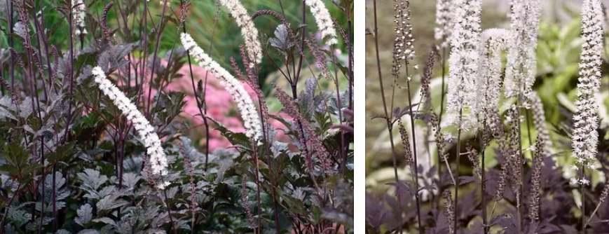 Растение Клопогонпростой