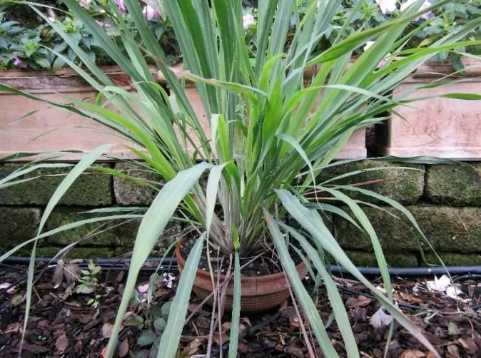 Растение Лемонграсс