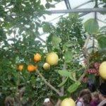 Лимоны и мандарины на одном дереве