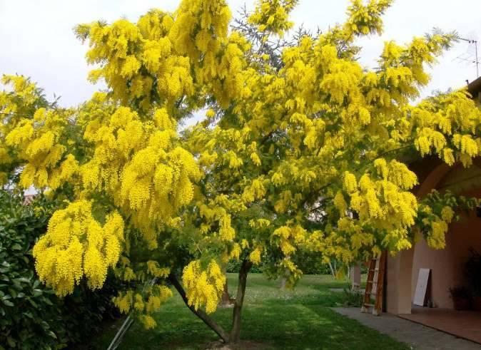 Желтая мимоза