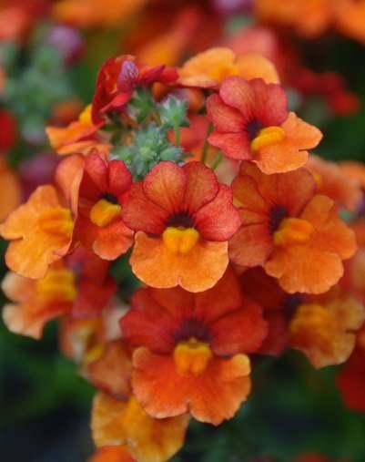 Немезия Насыщенно оранжевая