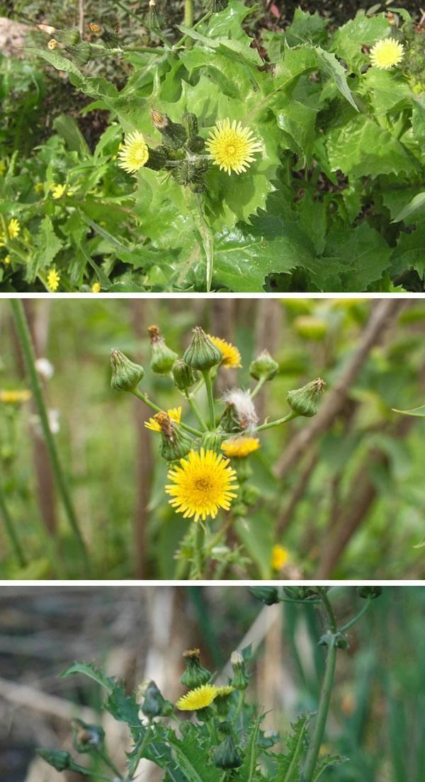 осот огородный сорняк как бороться фото центраторы выполняют функцию