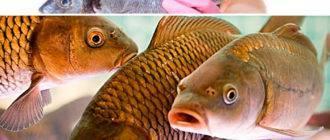 Запах рыбы