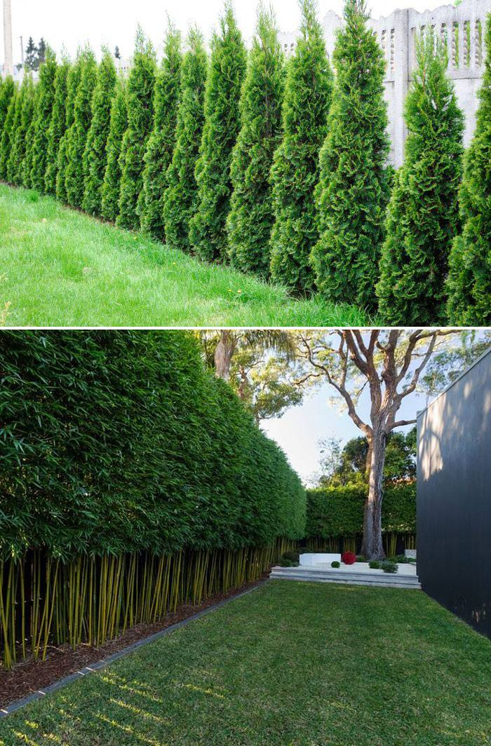 Изгороди Туя и бамбук