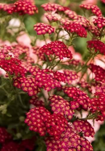 Растение Тысячелистник
