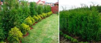 Живая изгородь вечнозеленая