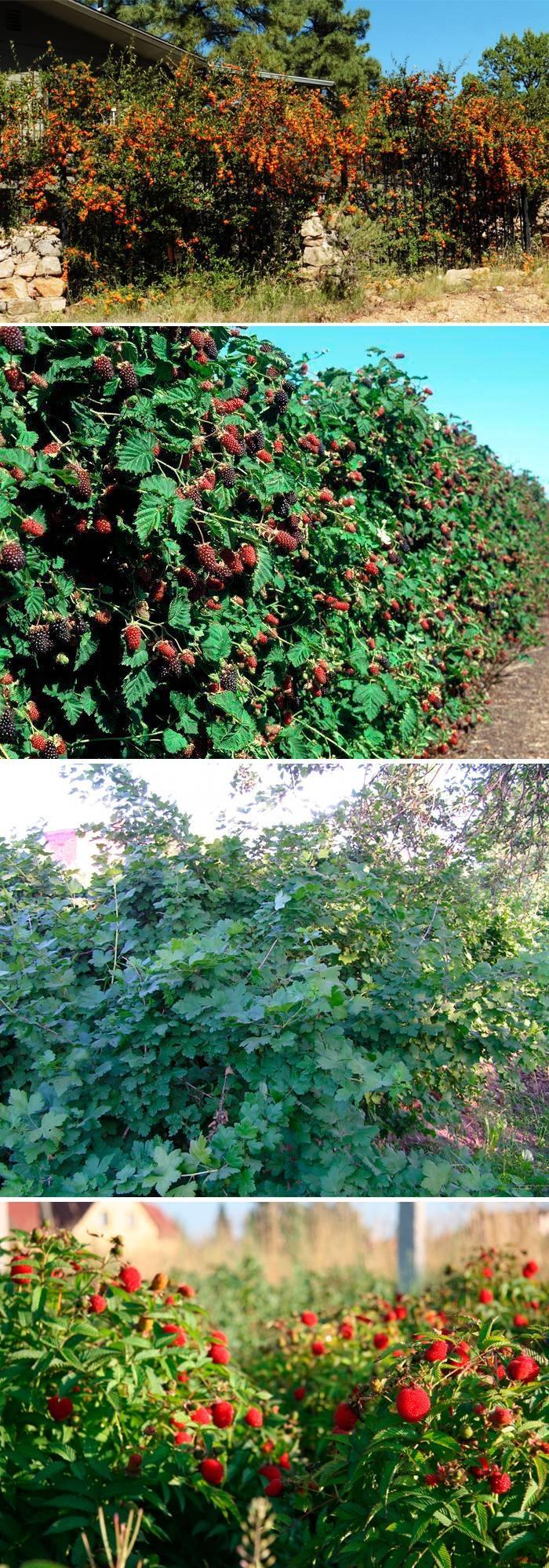 Ягоды и забор