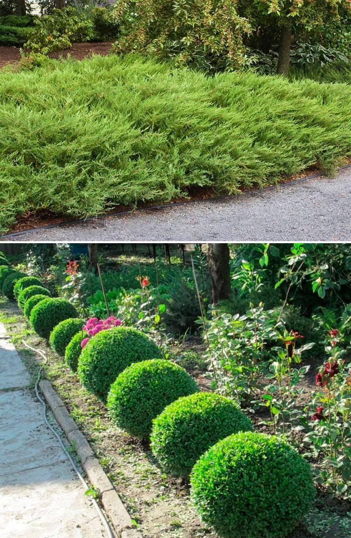 Низкие вечнозеленые растения для изгороди