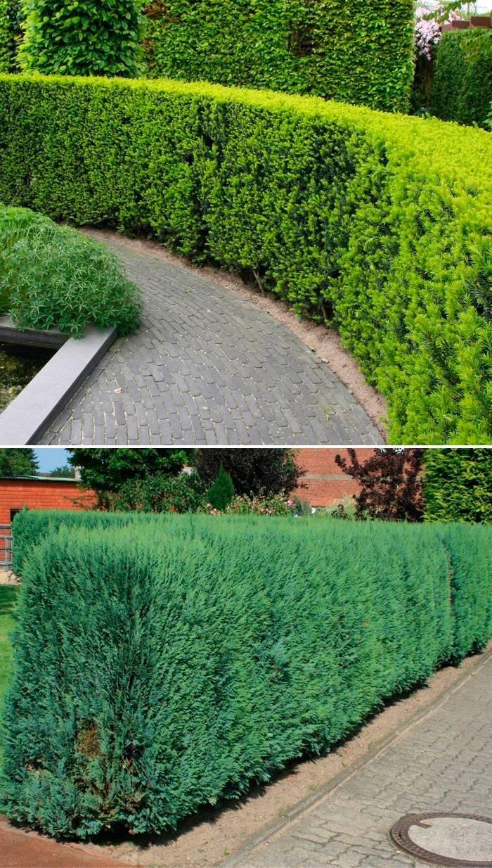 Разновидности вечнозеленых деревьев