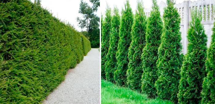 Вечнозеленые изгороди