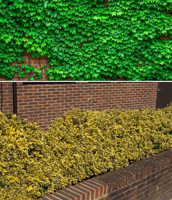 Разнообразие листовых лиан