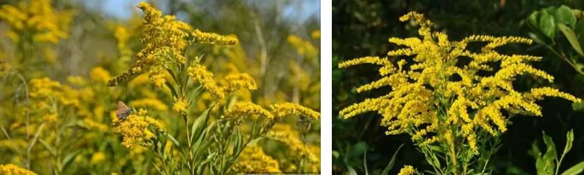 Растение Золотарник канадский